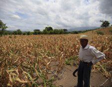 En áreas de la Franja Transversal del Norte, Petén y el oriente del país se está cosechando maíz por estos días.. (Foto, Prensa Libre: Hemeroteca PL).