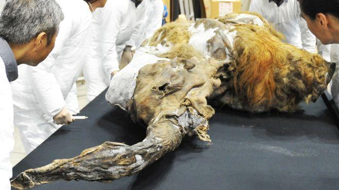 Yuka, un mamut bebé, fue hallado en 2011 perfectamente preservado en el permafrost de Siberia (GETTY IMAGES)