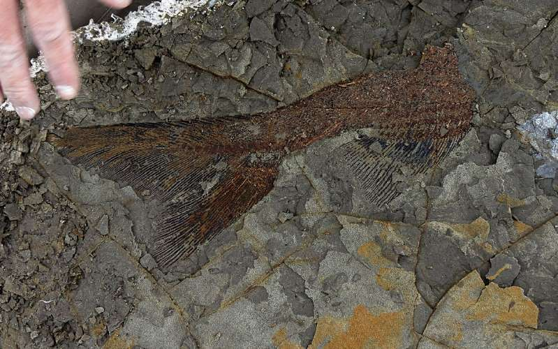 Fósil de pez de 66 hace millones de años, cedida el 29 de marzo de 2019 por la Universidad de Kansas. (Foto Prensa Libre: AFP)