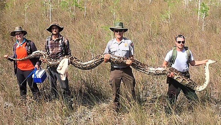 Las serpientes pitones son una gran amenaza para la fauna nativa de Florida. AFP/SERVICIO NACIONAL DE PARQUES DE EE. UU.