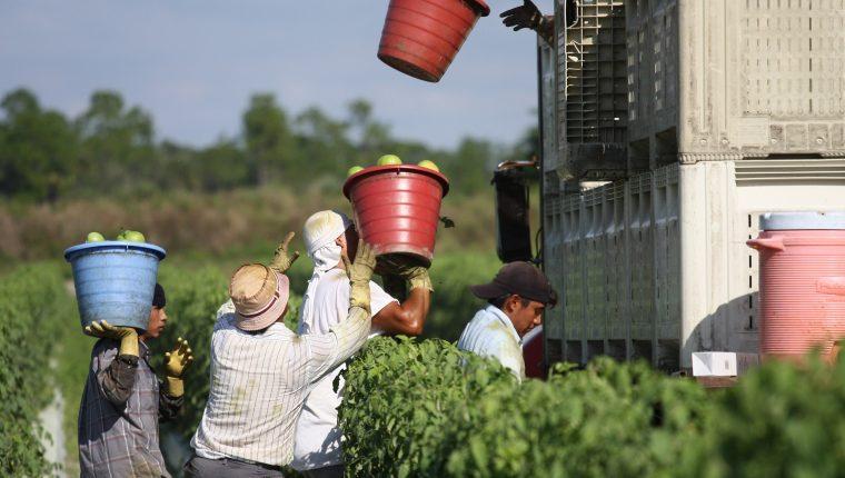 Fotografía cedida por la Coalición de Trabajadores de Immokalee (CIW) que muestra a trabajadores mientras recogen tomates en una granja en Immokalee, Florida (EEUU). (Foto Prensa Libre. EFE)