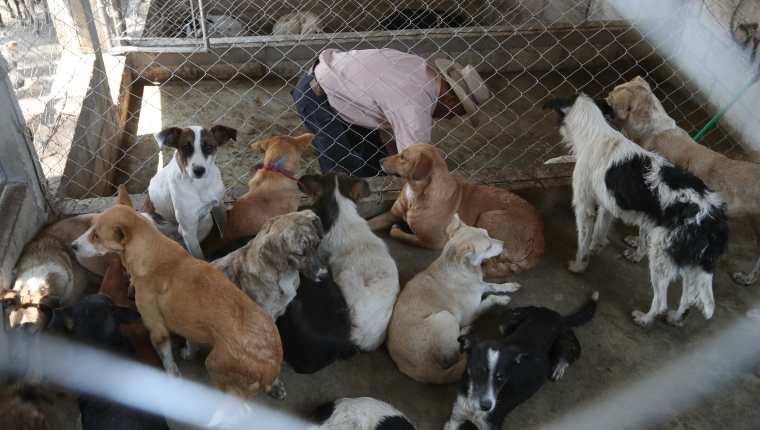Unos 50 perros de la calle fueron trasladados a la perrera municipal en San Juan Ostuncalco. (Foto Prensa Libre: Mynor Toc)
