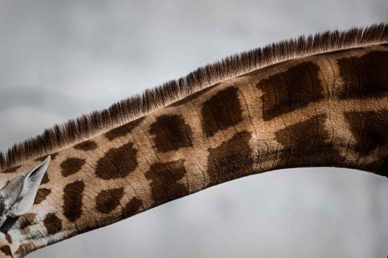 El mamifero terrestre más alto del mundo y al mismo tiempo el más reconocible. La Jirafa está en peligro de extinción debido a su caza inmoderada en África. Foto Prensa Libre: AFP