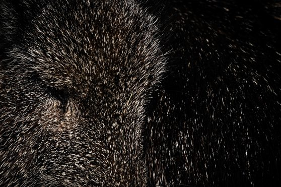 Pelaje corto y oscuro, característica de Pecari. Un animal parecido al cerdo pero que tiene actividades nocturnas y vive en rebaños en Europa. Foto Prensa Libre: AFP