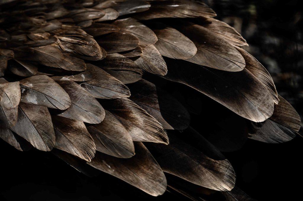 Así es el plumaje de un ave que se alimenta de  animales muertos, de esta forma lo cuentan las plumas del Buitre. Foto Prensa Libre: AFP