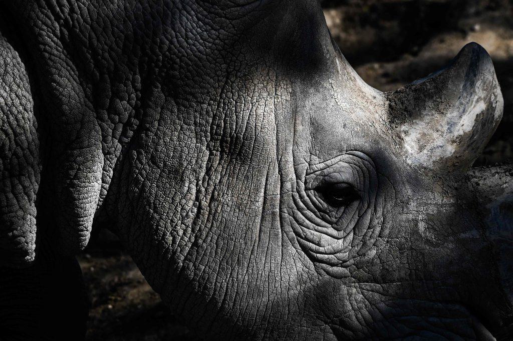 Los rinocerontes tienen un agudo sentido del olfato y un oído sensible, pero una mala vista. Foto Prensa Libre: AFP