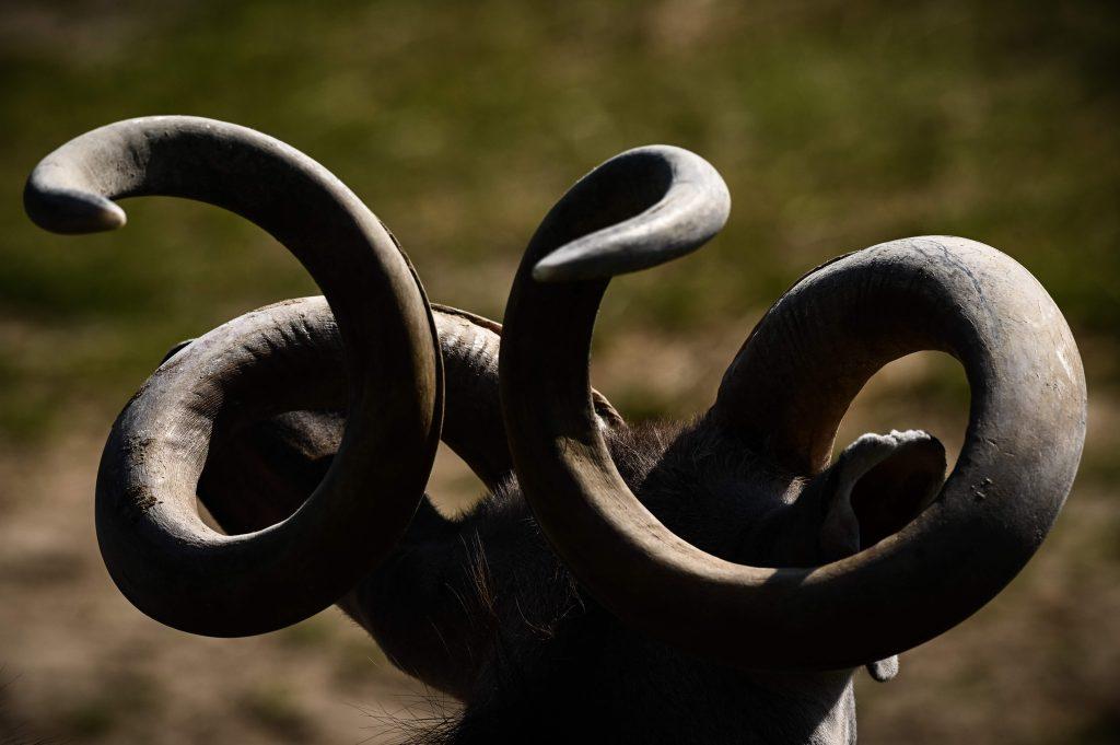 La imagen nos muestra los cueros de un Kudu Mayor un antílope de las sabanas de Africa. Foto Prensa Libre: AFP