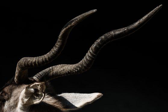 La imagen muestra los cuernos de un Adax o Antílope de un metro de altura, este animal ha sido brutalmente cazado a tal grado que está en peligro de extinción en Arabia. Foto Prensa Libre: AFP