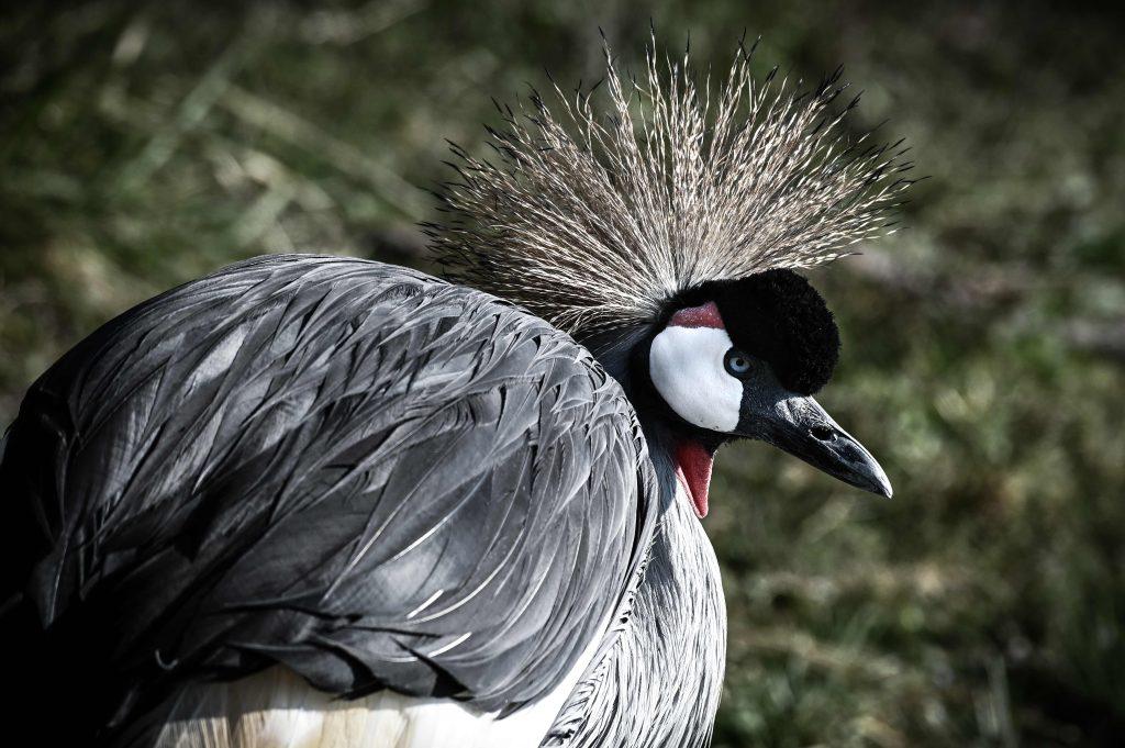 Las grullas son de los animales que buscan pareja de por vida y recorren largas distancias para poder empollar. Foto Prensa Libre: AFP