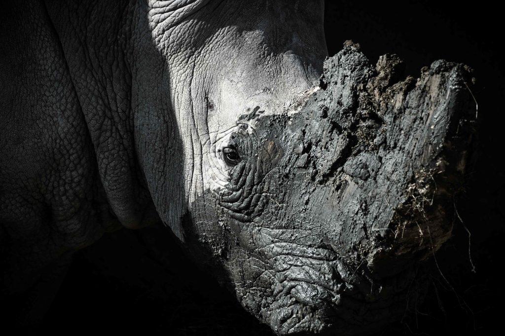 Existen cinco especies de rinocerontes: el blanco y el negro en África, el de Java, de la India y de Sumatra. Actualmente el de Sumatra y el de Java se encuentran en peligro crítico de extinción. Foto Prensa Libre: AFP