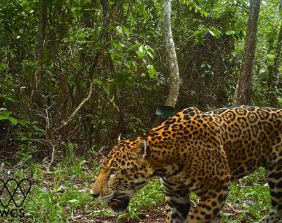 Cámaras instaladas en la selva petenera graban imágenes de los jaguares. (Foto Prensa Libre: Cortesía: Rony García-Anleu, WCS Guatemala).