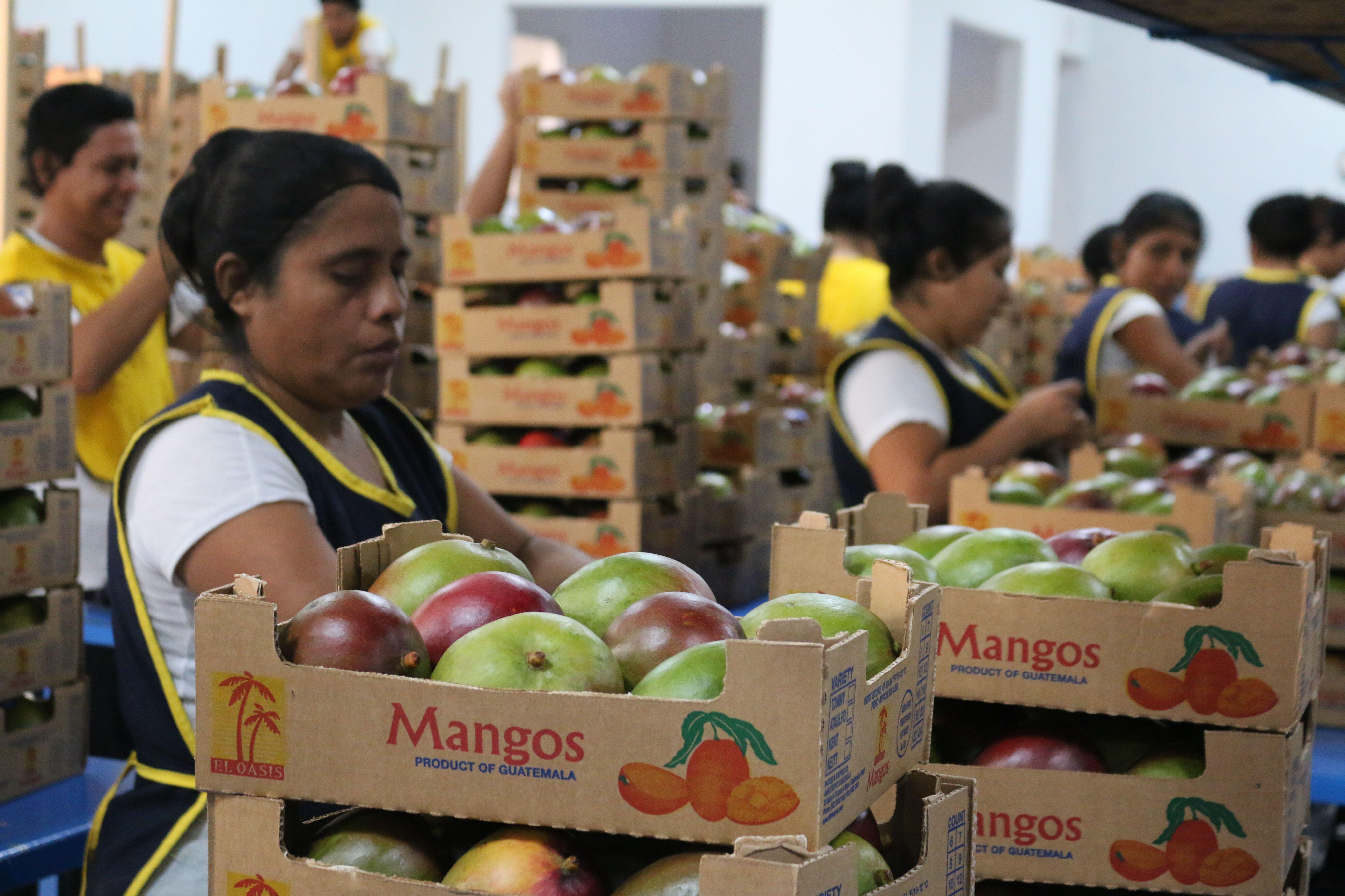 El cargamento de mango para el primer contenedor que se exportará a Chile se empacó esta semana. (Foto, Prensa Libre: Agexport).