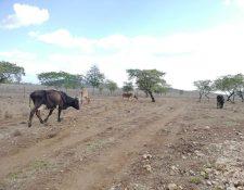 Falta de agua y pastizales es una de las causas de muerte de reses en Petén, según ganaderos y autoridades. (Foto Prensa Libre: Dony Stewart)