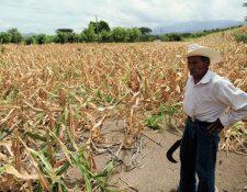 La escasez de lluvia golpea fuerte a la población que subsiste de la agricultura, y que el vale por Q200 que entregará el Maga para canjear por alimentos es su única esperanza. (Foto Prensa Libre: Hemeroteca PL)