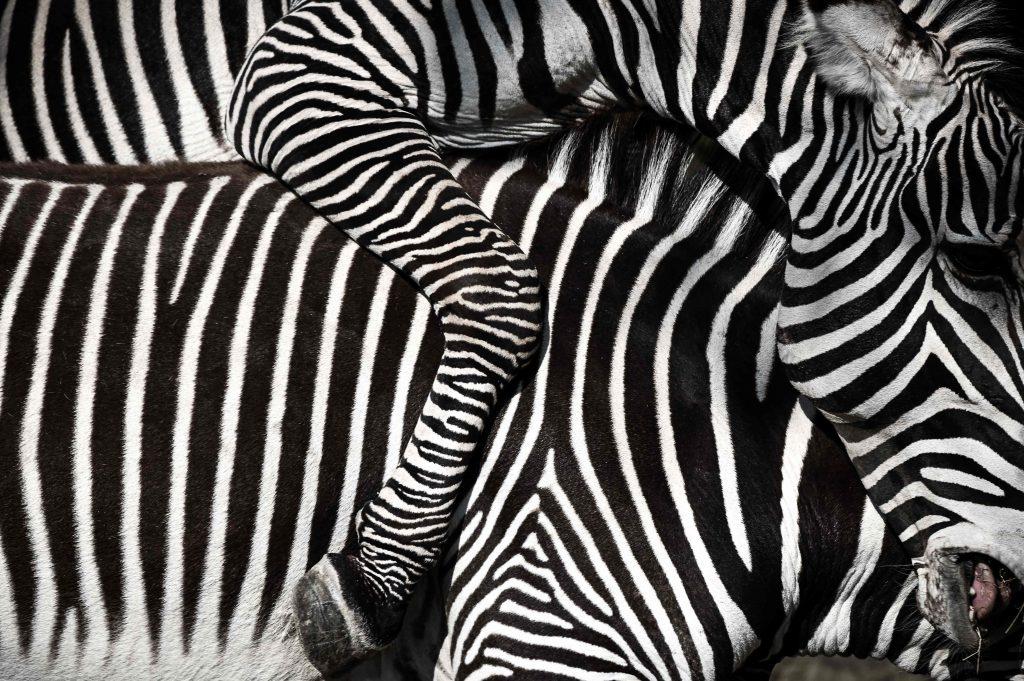 En el mundo hay tres especies de Cebras, y de estas hay 9 subespecies, pero  una ya está extinta. Foto Prensa Libre: AFP