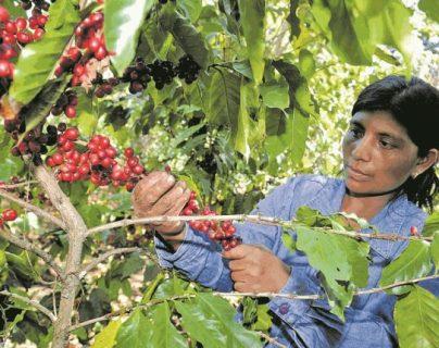 La demanda de créditos por parte de los productores de café se incrementó y el fideicomiso no puede cubrir los requerimientos, según el ministro de Agricultura. (Foto Prensa Libre: Hemeroteca)