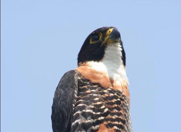 Hay 3 polluelos de halcón pecho naranja en Tikal, especie en riesgo de extinción, y para protegerlos prohíben ascenso a templo