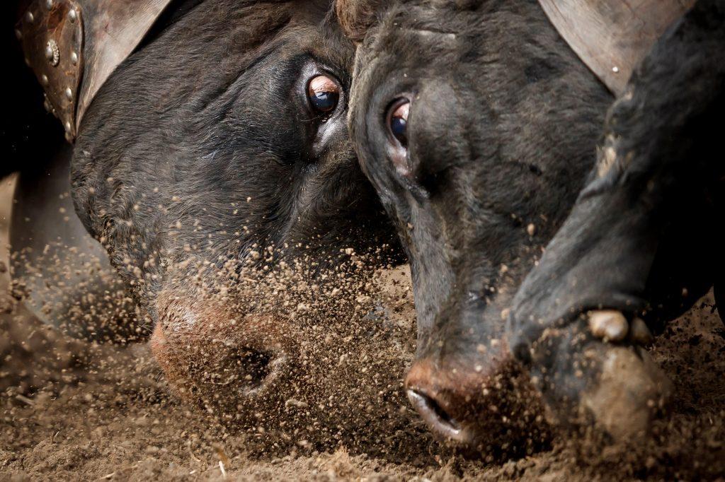 Dos vacas Herens chocan sus cuernos durante la ronda de clasificación de la final nacional de la raza d'Herens (Herens final de combate de vacas) en Aproz, Suiza. Foto Prensa Libre: EFE