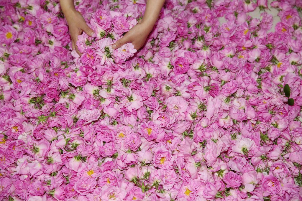 Un agricultor clasifica rosas que se utilizan para hacer aceites esenciales en una plantación de rosas en Haian, en la provincia oriental de Jiangsu, China. Foto Prensa Libre: AFP
