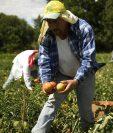 La primera oportunidad que se abriría con las visas de trabajo temporales es en el sector agrícola en Estados Unidos. (Foto Prensa Libre: Hemeroteca)