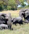 Los elefantes fueron encontrados ahogados. (Foto Prensa Libre: EFE)
