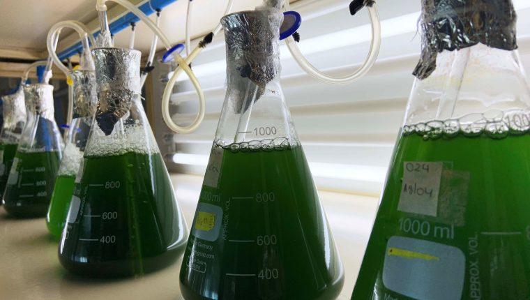 Las algas marinas han sido utilizadas para diversos estudios científicos debido a las propiedades que presenta. (Foto Prensa Libre: EFE)