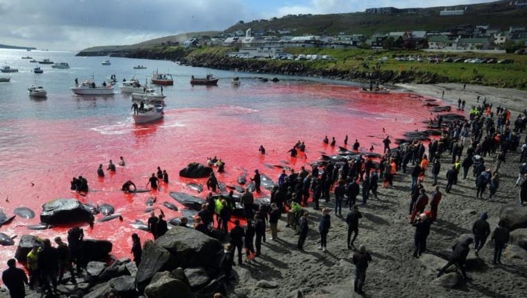 Cientos de cetáceos fueron masacrados en las costas de las Islas Feroe. Foto Prensa Libre: AFP)