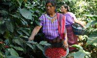 Los microlotes que fueron seleccionados en la subasta electrónica la libra de café puede alcanzar hasta los US$10, por ser producto diferenciado. (Foto Prensa Libre: Hemeroteca)