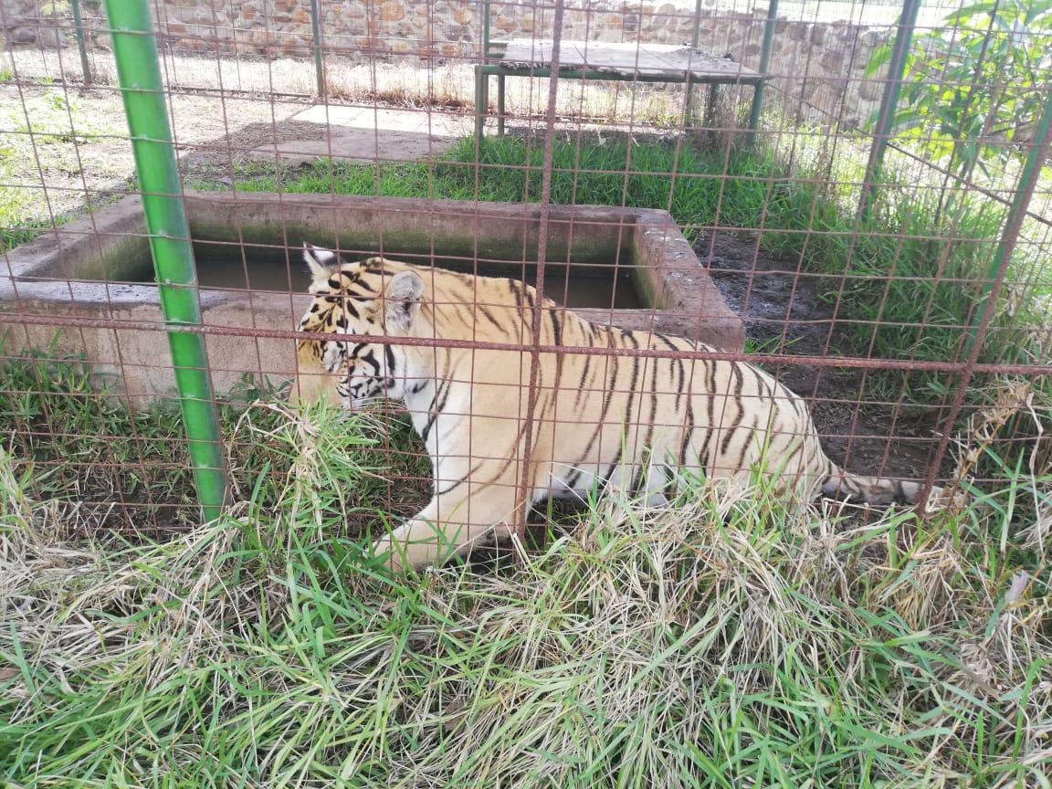 VIDEO | Rescatan un tigre durante allanamientos por narcomenudeo