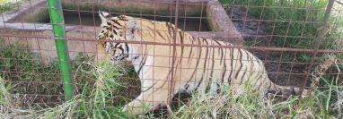 Tigre hallado en una vivienda en Jalpatagua. (Foto Prensa Libre: PNC).