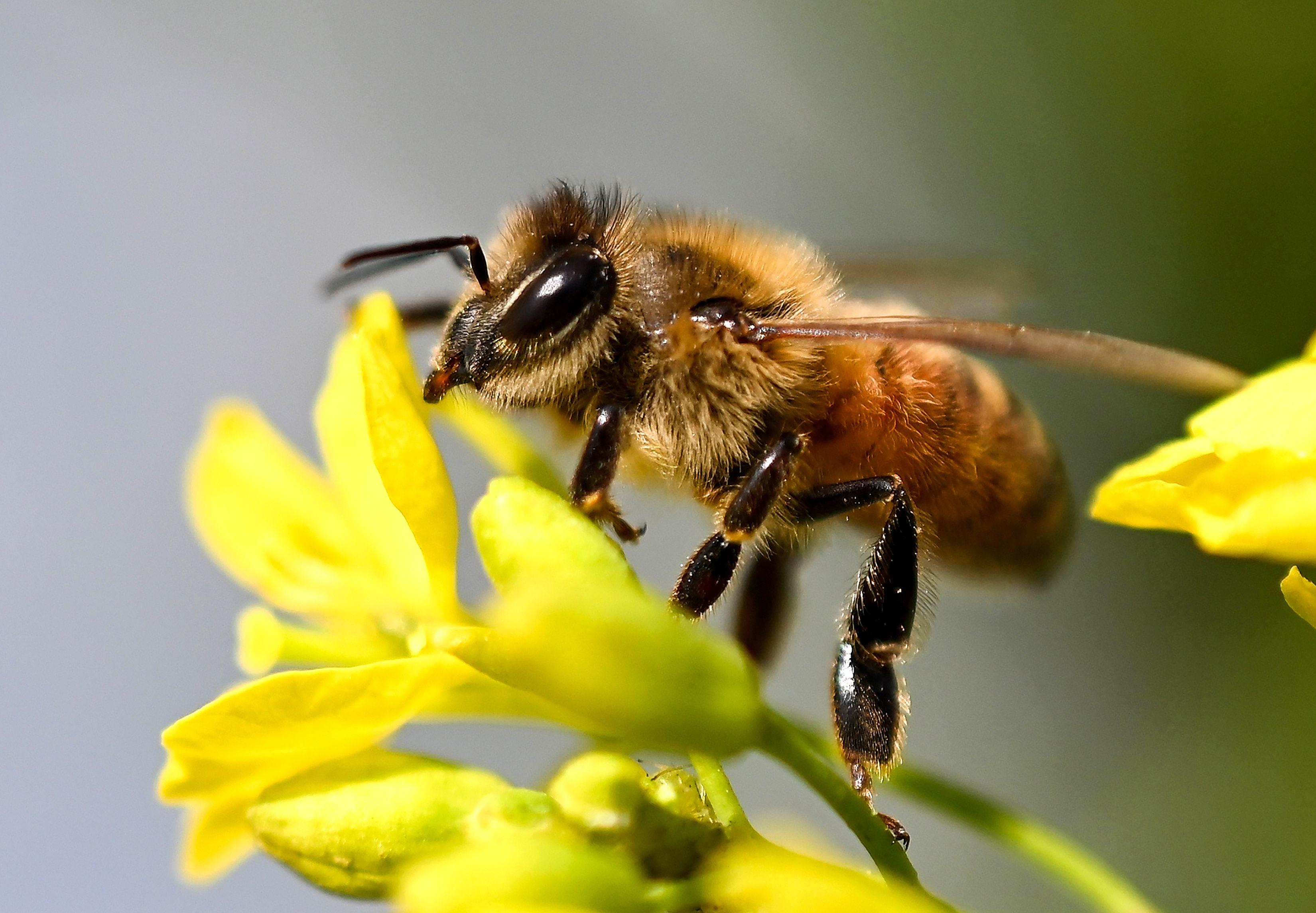 Los cultivos de los que depende la alimentación mundial están en riesgo por falta de abejas. (Foto Prensa Libre: AFP)