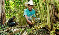 Ante la mejora de precios del cardamomo, productores amplían la cobertura de siembra en distintas áreas. (Foto Prensa Libre: Hemeroteca)