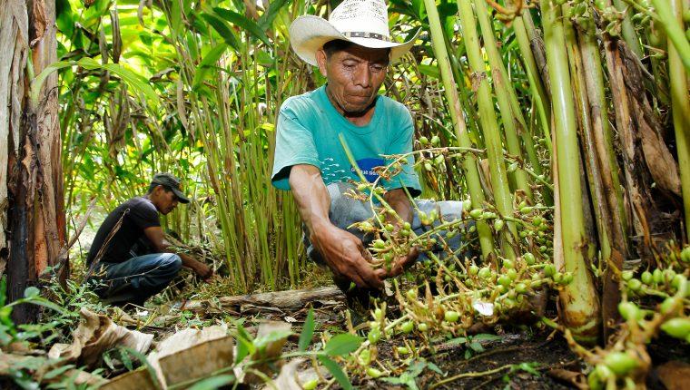 Las exportaciones de cardamomo de Guatemala aumentaron en la cosecha que recién finalizó, debido a los problemas que registró India para atender el mercado del Medio Oriente.  (Foto Prensa Libre: Hemeroteca)