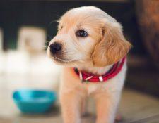 Controlar dónde hace sus necesidades, respetar el espacio ajeno y cómo hacer un paseo son algunas de las cosas más importantes que puede enseñarle a su perro.(Foto Prensa Libre: Servicios)