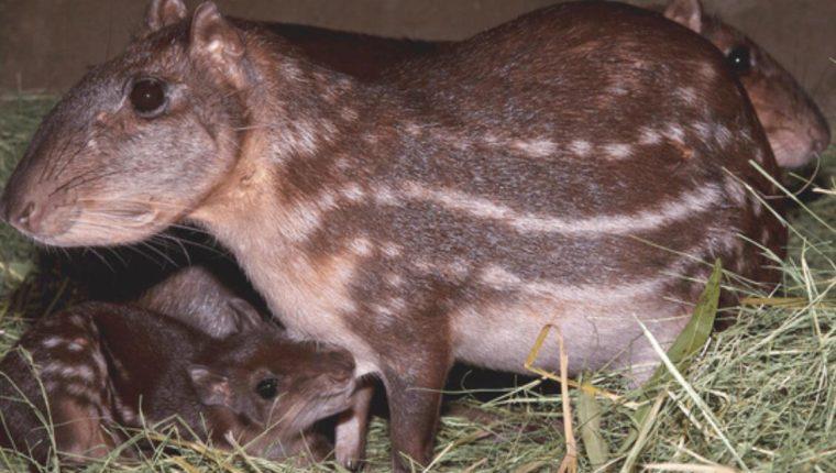 Quince tepezcuintles fueron robados del Zoológico Privado de Oriente en Zacapa. (Foto Prensa Libre: Mario Morales)