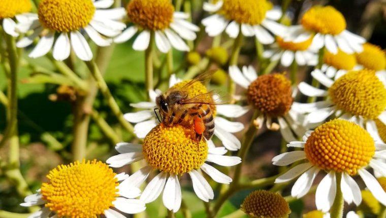 Para la conservación de las abejas, expertos sugieren no cortar las flores silvestres de los jardines. (Foto Prensa Libre: César Antonio Pérez)