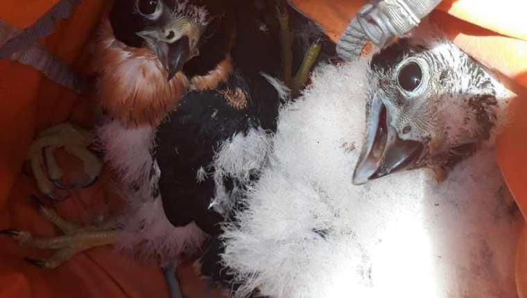 Los polluelos de halcón pecho naranja que nacieron en el Templo 2 del Parque Nacional Tikal, en Petén, gozan de buena salud. (Foto Prensa Libre: Cortesía)