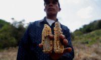 Una agricultor de Moyuta, Jutiapa, muestra las mazorcas que perdió a causa de al sequía el año pasado. (Foto Prensa Libre: EFE)