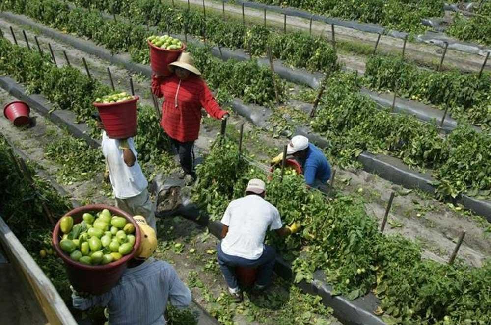 Exportaciones del tomate ascendieron en 2018 cerca de US$2 millones. (Foto Prensa Libre: Westchester Hispano)