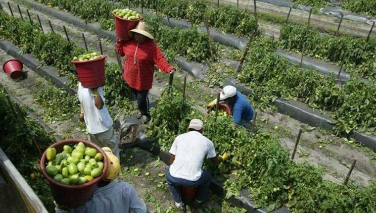 La visa H-2A para trabajar en agricultura temporalmente en EE. UU. tiene duración de un año y máximo de tres. (Foto Prensa Libre: Hemeroteca)