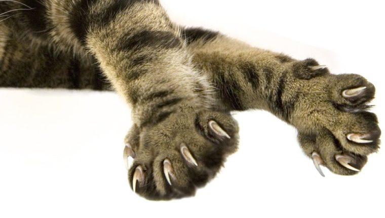 El estado de Nueva York impulsó la prohibición de la amputación de las garras de los gatos, una práctica común en Estados Unidos. GETTY IMAGES