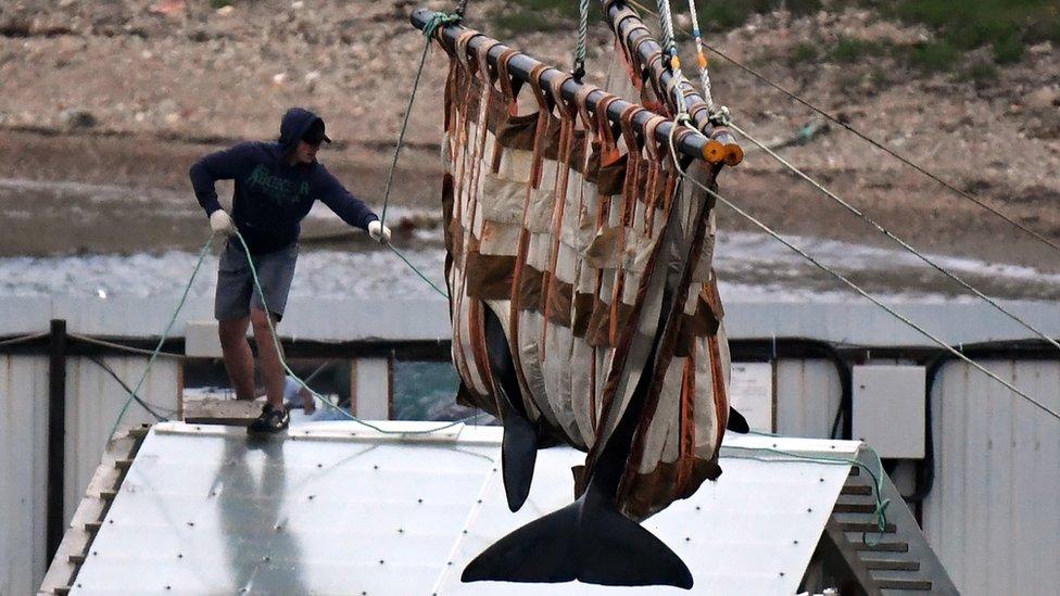 """Rusia comienza a liberar a las ballenas """"encarceladas"""" tras el clamor internacional"""