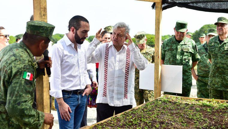 Los presidentes de El Salvador, Nayib Bukele y de México Andres Manuel López Obrador revisan un vivero, parte del programa Sembrando Vidas, parte del Plan de Desarrollo Integral, mediante el cual se hará una fuerte inversión en el país centroamericano. (Foto Prensa Libre:  EFE)