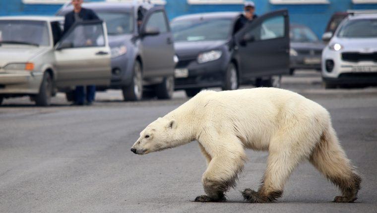 Un oso polar callejero fue visto en las afueras de la ciudad industrial rusa de Norilsk, a cientos de kilómetros de su hábitat natural. (Foto Prensa Libre: AFP)