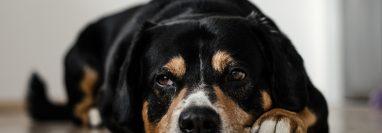 La empatía de los perros con los humanos vuelve a quedar demostrada con  las conclusiones de este estudio. (Foto Prensa Libre: Servicios)