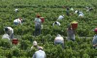 Inmigrantes laboran en una finca de tomate en Florida, EE. UU. Los trabajos agrícolas demanda una gran cantidad de mano de obra, la mayoría de la cual es compuesta por inmigrantes. (Foto Prensa Libre: Hemeroteca PL)