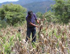 Los agricultores de subsistencia han perdido sus cosechas en los últimos años por la irregularidad de las lluvias. (Foto Presa Libre: Hemeroteca PL)