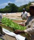 Según la propuesta de Camagro, el riego es una herramienta que mejora la productividad para los pequeños productores que tienen pocos recursos para invertir directamente en infraestructura, y que pueden triplicar sus ingresos. (Foto Prensa Libre: Hemeroteca)