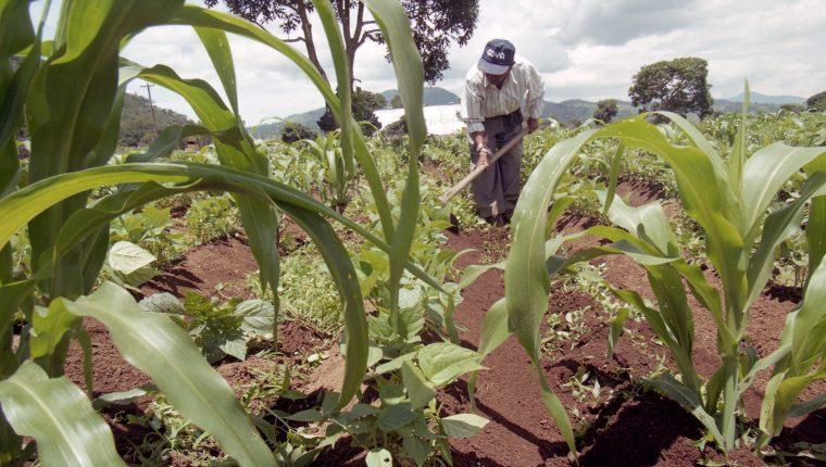 El área de cultivo de maíz fue de 925 mil 101 hectáreas en 2019 y tuvo una disminución con respecto al 2017 cuando sobrepaso el millón de hectáreas, reveló la Encuesta Nacional Agropecuaria (ENA). (Foto Prensa Libre: Hemeroteca)