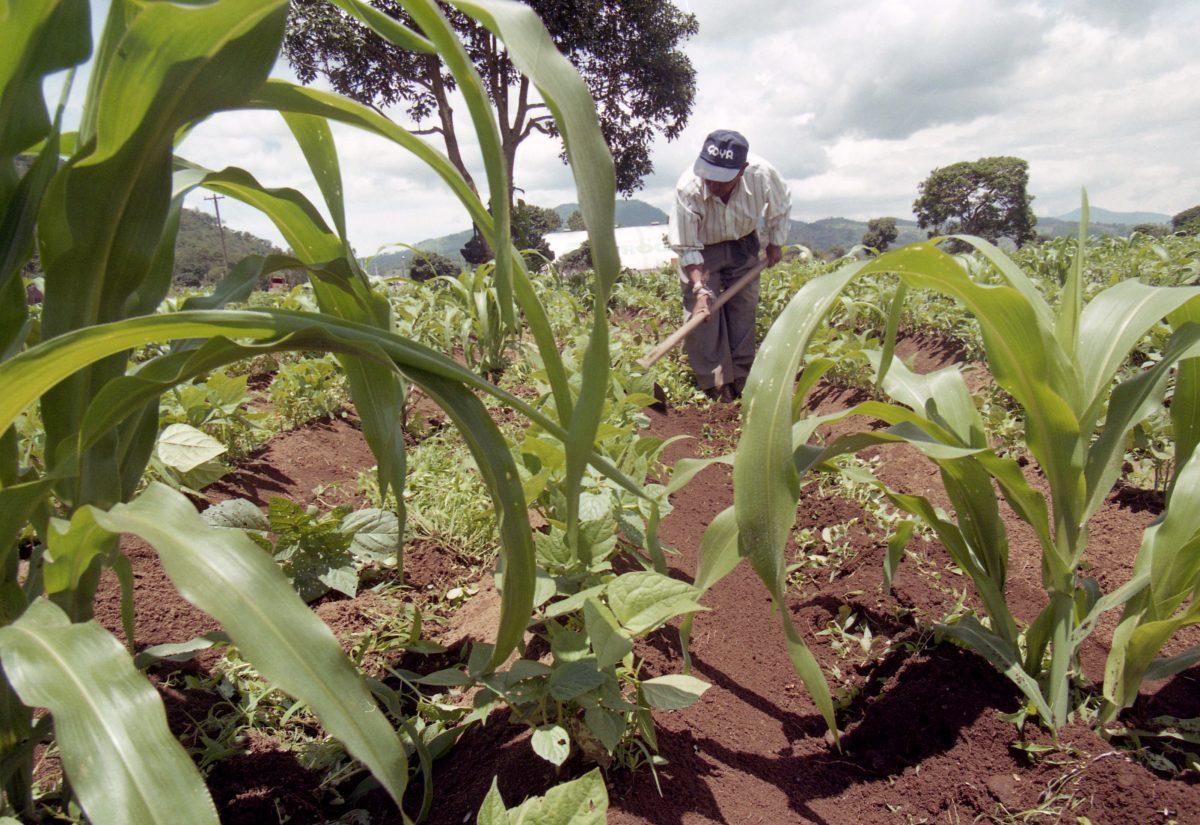 Con las primeras lluvias, este es el producto que domina el ciclo agrícola guatemalteco